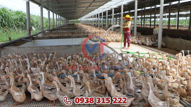 Đàn vịt nhà anh Thường khỏe mạnh, sạch sẽ nhờ được nuôi trên sàn lưới.